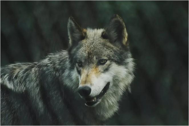 華為狼性文化